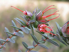 Darwinia citriodora